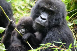 Gorillas & golden monkey safari in Rwanda