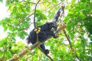 chimpanzees on 18 Days Rwanda & Uganda safari