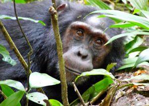 3 days Uganda Chimpanzee tracking in Kibale