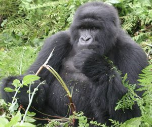 trekking Gorillas on 6 Days Rwanda safari