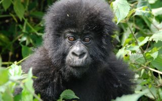 gorilla trekking rules and regulations