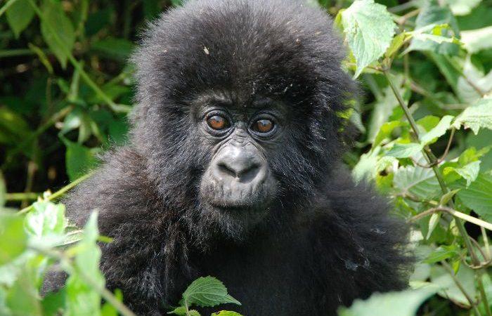 gorilla trekking rules and regulations
