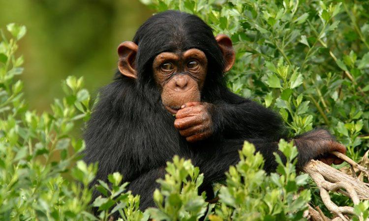 3 Days Ngamba Chimpanzee Trekking