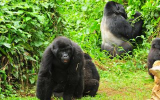 9 Days Gorilla Safari