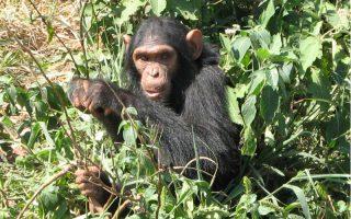 3 Days Rwanda Chimpanzee Trekking