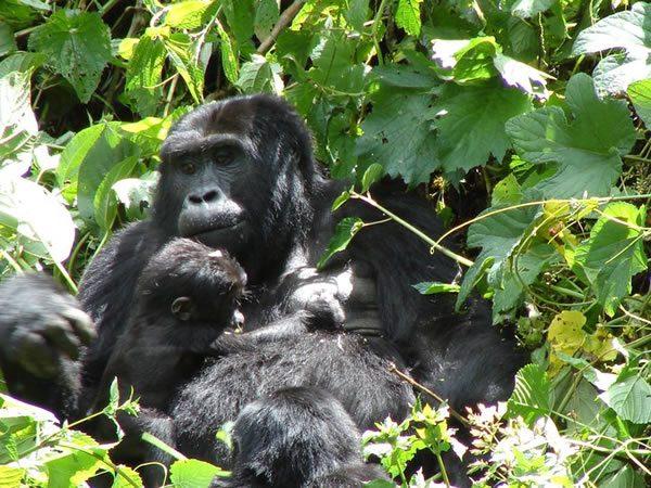 7 Days Gorilla Trekking