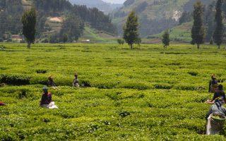 lake kivu plantation
