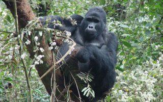 13 Days gorilla trekking
