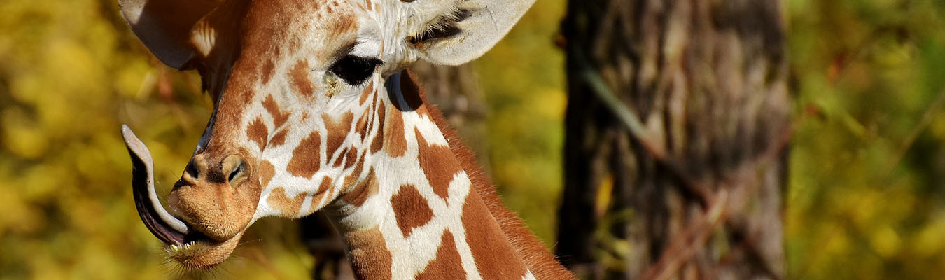 Rwanda Tour Giraffe
