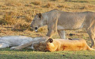 Rwanda Safari Lions