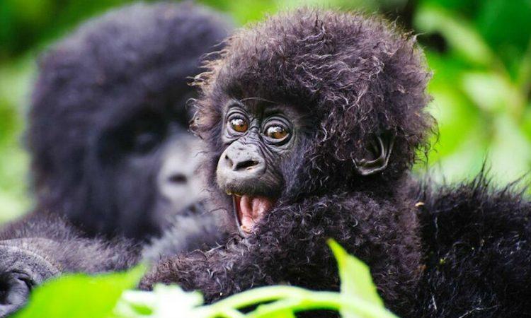 1 Day Express Rwanda Gorilla Trek