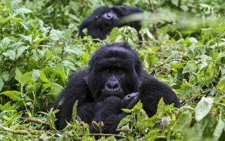 3 Days Congo Gorilla Safari in Virunga