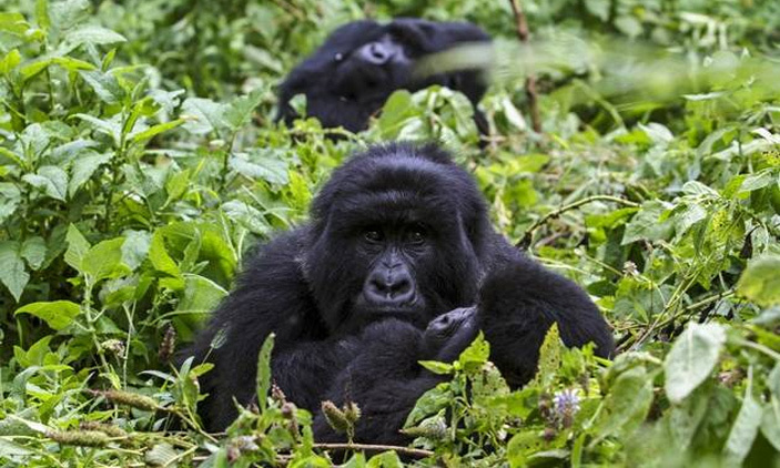 3 Days Congo Gorilla Safari in Virunga