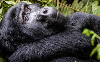 3 Days Uganda Gorilla Habituation