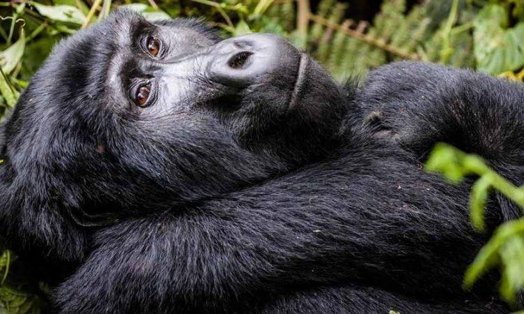 3 Days Uganda Gorilla Habituation