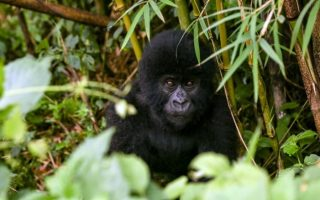 4 Days Congo Double Gorilla Trekking Tour