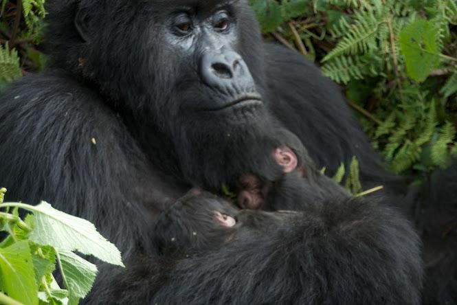 Amahoro Gorilla Group