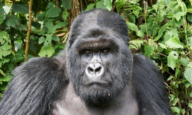 Kwitonda Gorilla Family