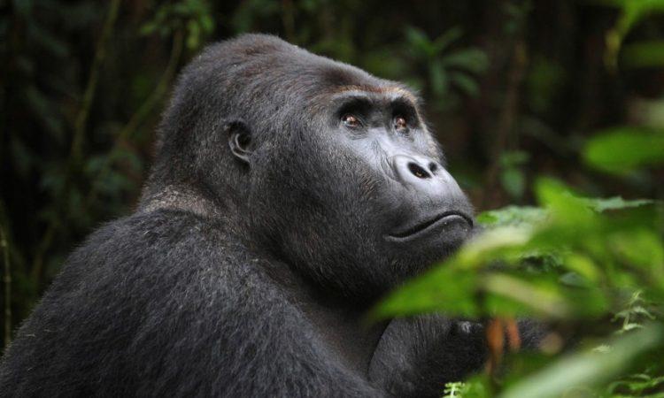 Congo Gorilla Permits