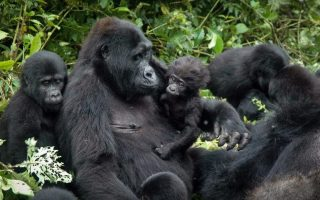 Busingye Gorilla Family