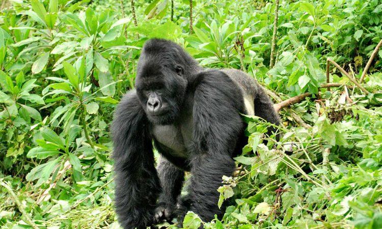 Bwenge Gorilla Group