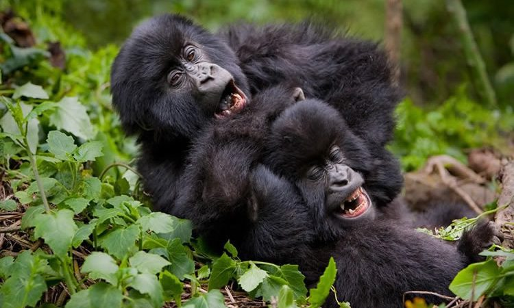 How Big, Tall, Heavy and Strong are Gorillas