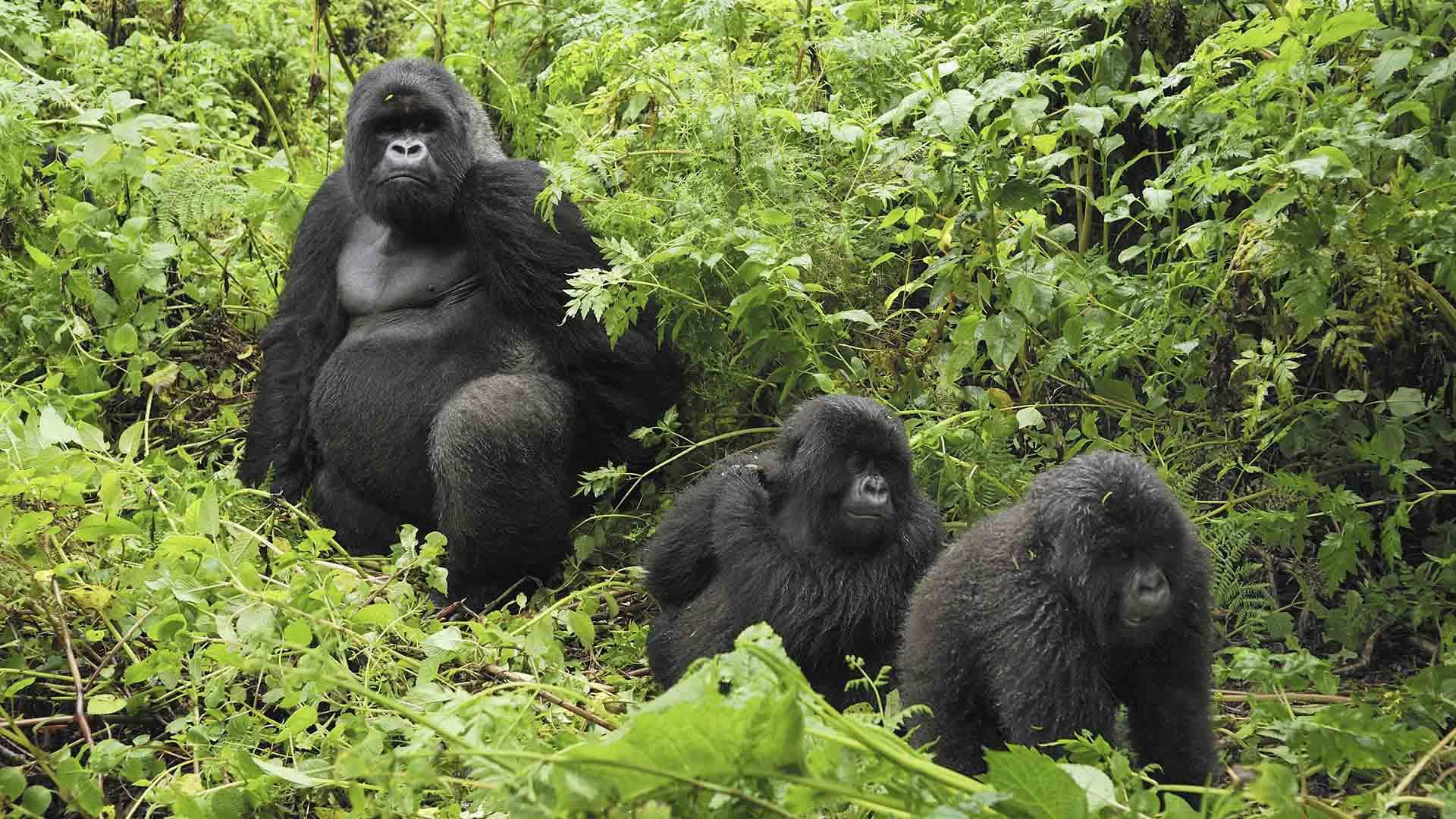 How big are gorillas - gorilla size, the size of gorillas