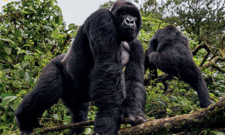 Kabirizi Gorilla Group