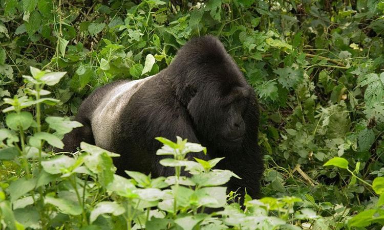 Kyaguriro Gorilla Family