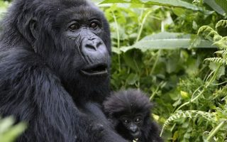 Lifespan of Gorillas: How long do gorillas live