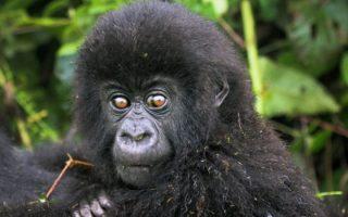 Lulengo Gorilla Family