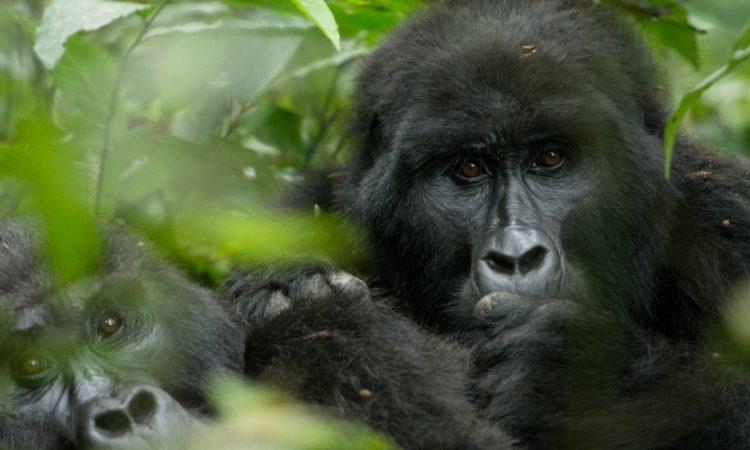 Mapuwa Gorilla Family