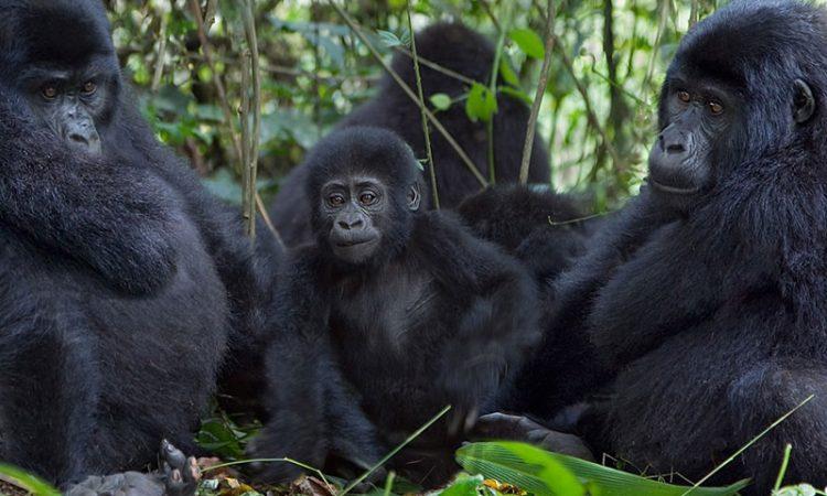 Nkuringo Gorilla Family