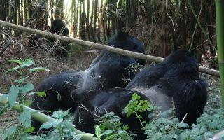 Nyakagezi Gorilla Family
