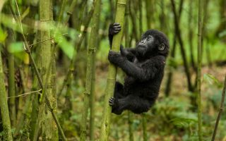 Reason why you should book your gorilla permit in advance