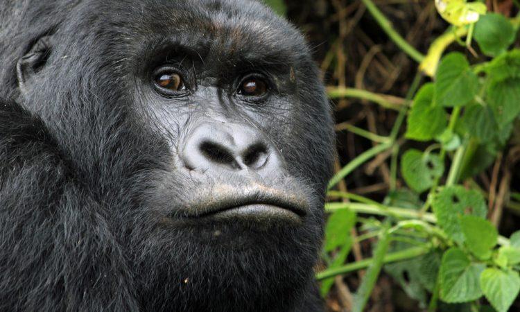 Rugendo Gorilla Family