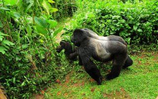 Rushegura Gorilla Family