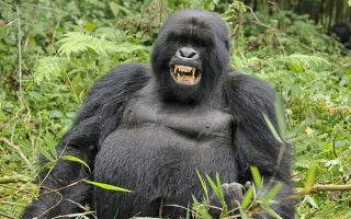 What do Gorillas Eat