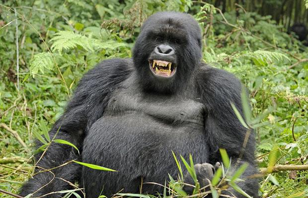 What do Gorillas Eat