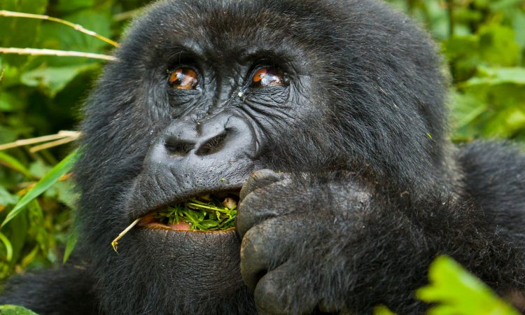What you should not do while trekking gorillas