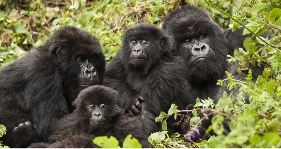 best time to trek rwanda gorillas