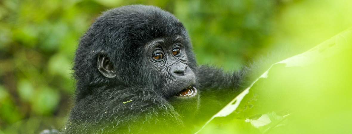Entry Fees in Bwindi Impenetrable National Park