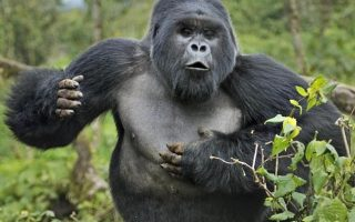 What to do when a Gorilla Charges ?