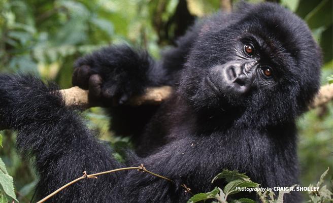 The Endangered Mountain Gorillas