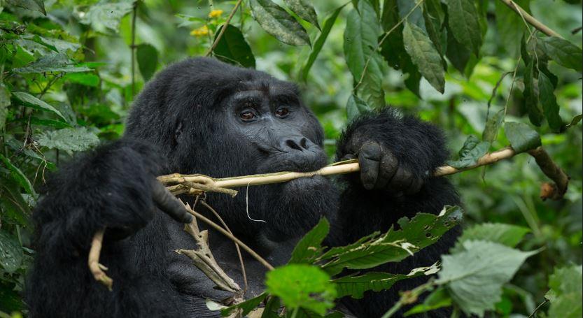 5 Days bwindi gorilla trekking and masai mara safari