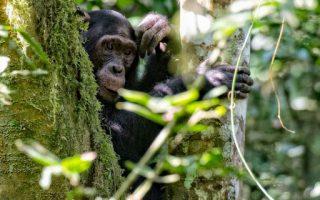 5 days Nyungwe Chimpanzee Trekking and Kahuzi Biega