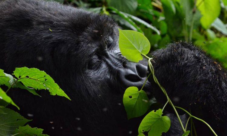 5 Days Uganda Rwanda Gorilla Trekking safari