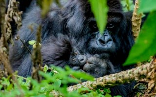 8 Days Uganda and Rwanda Gorilla safari