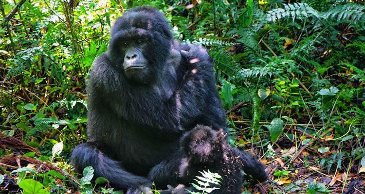 6 Days Rwanda Congo Adventure