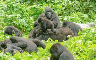 Oruzongo Gorilla Group | Bwindi Impenetrable National Park